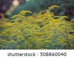 golden ragweed yellow flowers... | Shutterstock . vector #508860040