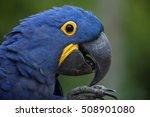 hyacinth macaw  anodorhynchus... | Shutterstock . vector #508901080