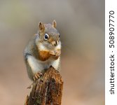 Small photo of American Red Squirrel Sitting on Stump in Fall