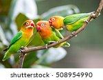 lovely sun conure parrot birds...   Shutterstock . vector #508954990