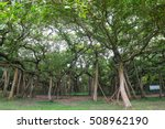 Small photo of The Great Banyan is a banyan tree (Ficus benghalensis) located in Acharya Jagadish Chandra Bose Indian Botanic Garden, Howrah, near Kolkata, , West Bengal, India. More than 250 years old.