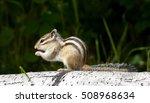 Siberian Chipmunk Eating On...