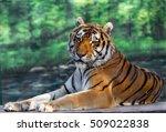 An Adult Siberian Tiger Restin...