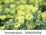 Yellow Zinnia Angustifolia...