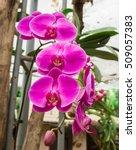 vanda orchid  violet orchid ...   Shutterstock . vector #509057383