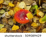 Red Amanita And Golden Leaves...