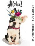 little cute bulldog | Shutterstock . vector #509118694