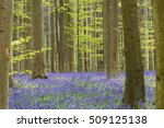 Hallerbos Forest In The Spring...