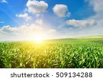 Green Field With Corn. Blue...