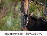 Starring Sable Antelope Bull I...