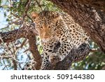 Leopard Starring In A Tree In...