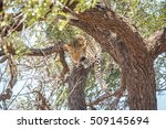 A Leopard Laying In A Tree In...