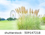 Pampas Grass In Japan.