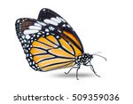 Stock photo close up of common tiger danaus genutia butterfly close to monarch butterfly isolated on white 509359036