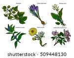 set of medicinal plants.... | Shutterstock .eps vector #509448130