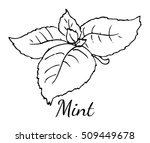 mint leaves. hand drawn... | Shutterstock .eps vector #509449678