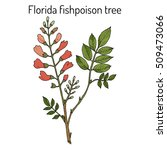 florida fishpoison tree  or... | Shutterstock .eps vector #509473066