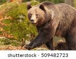 Brown Bear Is Walking Very...