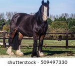 Black Standing Beautiful Horse