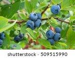 fresh organic blueberries on... | Shutterstock . vector #509515990