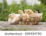 baby chickens water drinking on ... | Shutterstock . vector #509554750