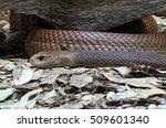 Eastern Brown Snake  Considere...