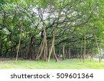 Small photo of The Great Banyan is a banyan tree (Ficus benghalensis) located in Acharya Jagadish Chandra Bose Indian Botanic Garden, Howrah, near Kolkata, , West Bengal, India. More than 250 years old.