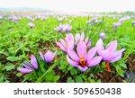 beautiful fields of violet...   Shutterstock . vector #509650438