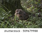 closeup of a eurasian eagle owl ... | Shutterstock . vector #509679988
