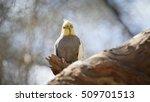 cockatiel  nymphicus... | Shutterstock . vector #509701513