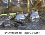 Common Frog In Spring In A Lake