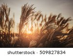 dry reed bending over the water.... | Shutterstock . vector #509827834
