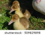 Three Little Ducklings Closeup