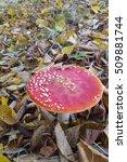Small photo of Fly aqaric mushroom (Amanita muscaria)