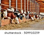 a lot of feeding cows in...   Shutterstock . vector #509910259