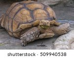 this funny looking turtle with... | Shutterstock . vector #509940538