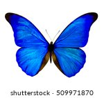 Stock photo blue morpho butterfly isolated on white background 509971870