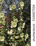 Small photo of Alcea rosea cv. and Buddleja