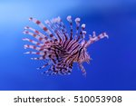 Swimming Red Lionfish. Pterois...
