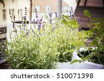 Lavender In Pots  Filtered...
