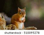 british native red squirrel...   Shutterstock . vector #510095278