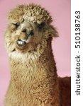closeup of an alpaca against...   Shutterstock . vector #510138763
