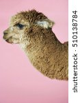 Small photo of Closeup side view of an Alpaca against pink background