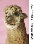 Small photo of Closeup of an Alpaca against pink background