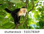 White Headed Capuchin Monkey In ...