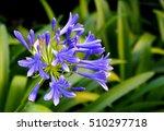 Purple Agapanthus Flowers In...
