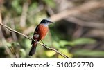 chestnut bellied rock thrush | Shutterstock . vector #510329770