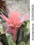 Small photo of Aechmea fasciata (Bromeliaceae Pineapple)