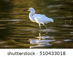 The Snowy Egret Is Fishing At...