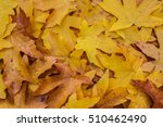 Small photo of Pile of the seasonal leaves of the Bigleaf maple (Acer macrophyllum), making a colorful background